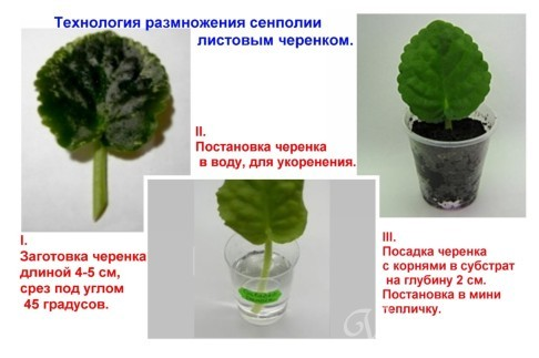 Почва фиалки уход в домашних условиях