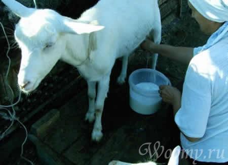 Противопоказания к употреблению козьего молока